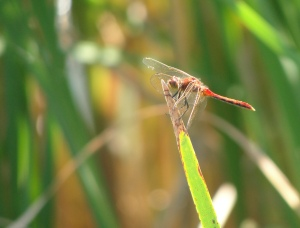 A red dragonfly in North Dakota