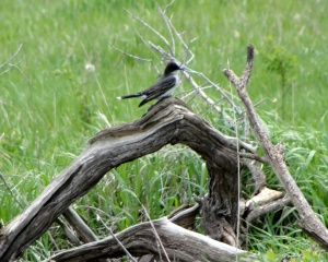 e kingbird log crop